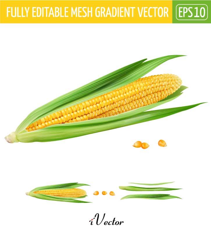دانلود طرح وکتور تصویر ذرت به صورت لایه باز corn illustration vector